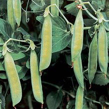 Sutton's Harbinger Pea Seeds