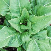 Amish Deer Tongue Lettuce Seeds