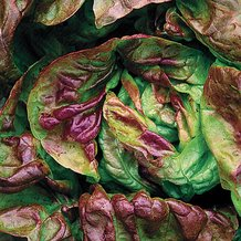 Yugoslavian Red Butterhead Lettuce Seeds