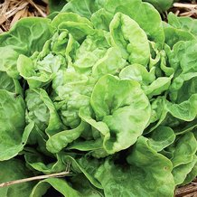 Three Heart Lettuce Seeds
