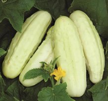 Holland White Cucumber Seeds