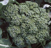 Calabrese Broccoli Seeds