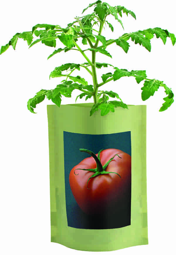 Brandywine Tomato Seed Starts