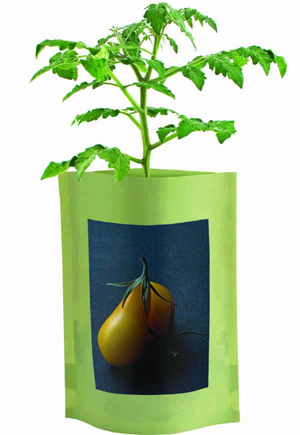 Yellow Pear Tomato Seed Starts