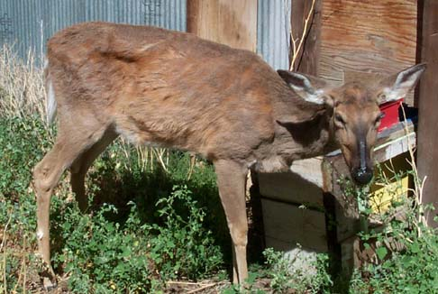 What Chronic Wasting Disease Looks Like in Deer