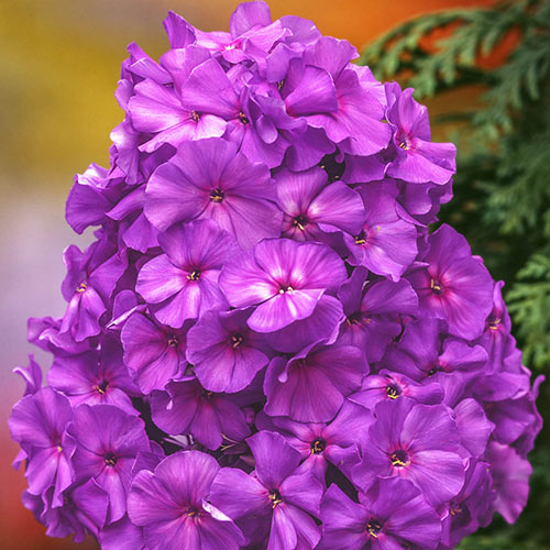 Blue Boy Hybrid Tall Phlox