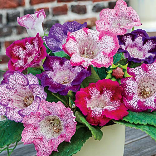 Butterfly Gloxinia Blend