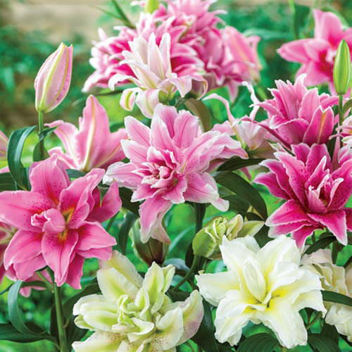 Mixed Rose Lilies