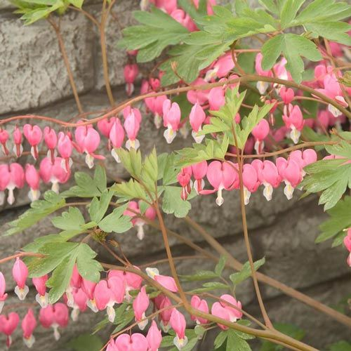 Old-Fashioned Bleeding Heart (Pink)