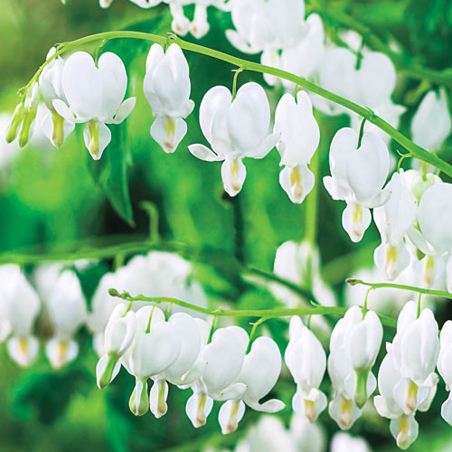 Old-Fashioned Bleeding Heart (White)