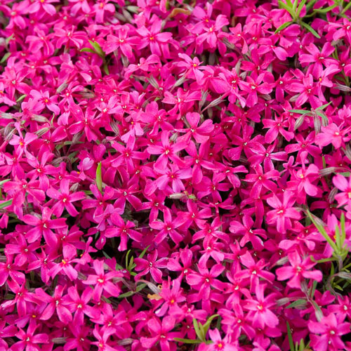 Red Carpet Phlox