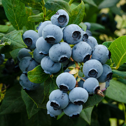 Duke Blueberry
