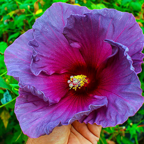 Summer Spice ® Grape Sorbet ™ Hibiscus