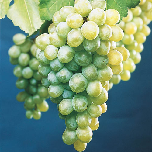 White Himrod Seedless Grapes