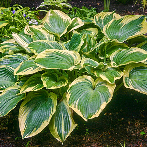 Hostas For Sale >> Hosta Plants For Sale