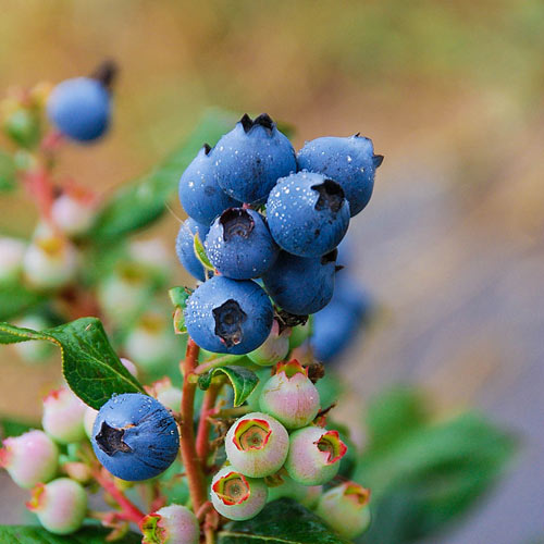 Blueberry Perpetua®