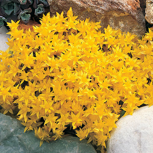 Golden Creeping Sedum