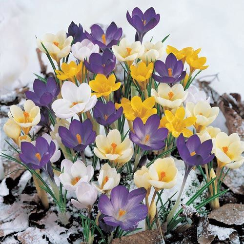 Snow Crocus Super Bag