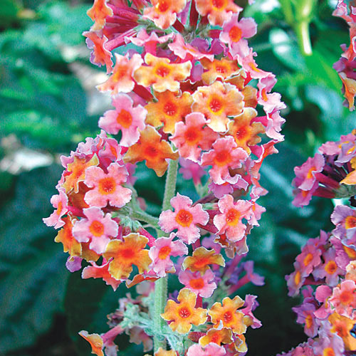 Kaleidiscope Butterfly Bush