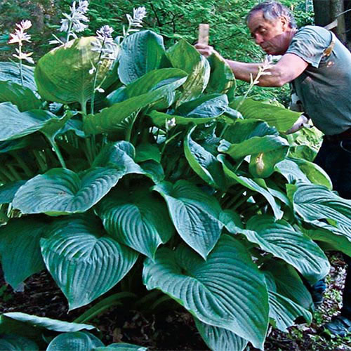 Empress Wu Giant Hosta