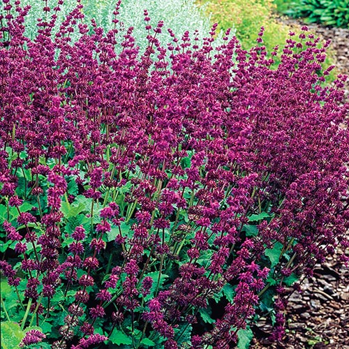 Purple Rain Salvia