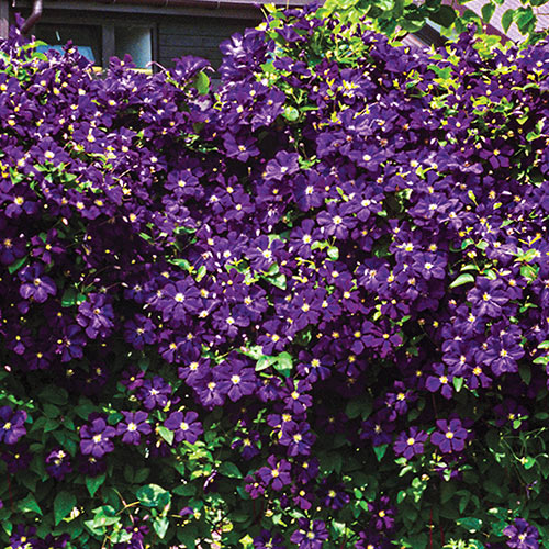 Purple Wall Of Flowers Clematis Michigan Bulb Co