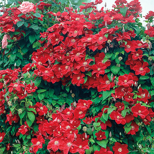 Red Wall Of Flowers Clematis