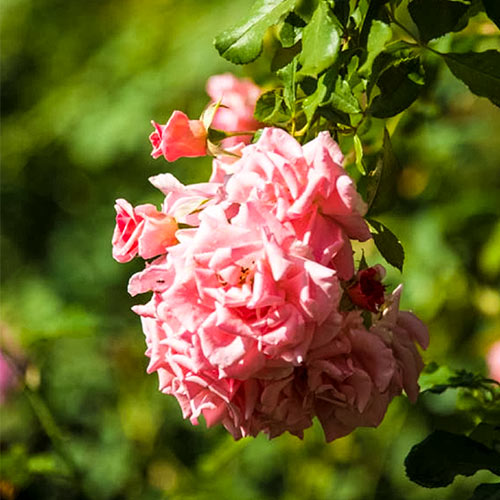 American Climbing Rose Collection