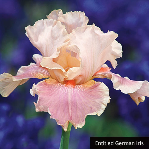Tickled Pink Iris Collection