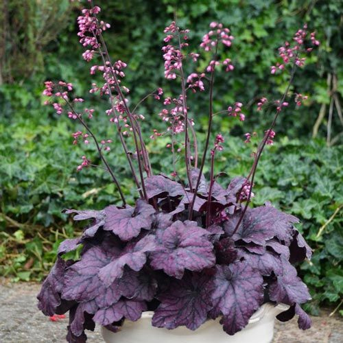 Electric Plum Heuchera