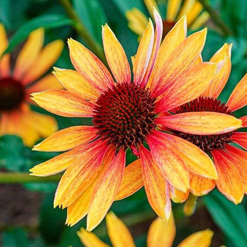 Hot Color Perennial Garden