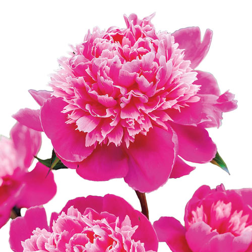 Seriously Fragrant Peony Collection
