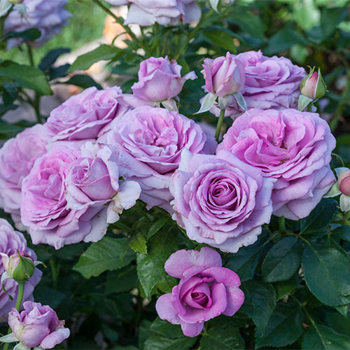 Easter Time Floribunda Rose Collection
