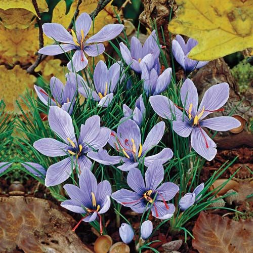 Saffron Fall Crocus