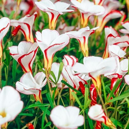 CANDY CANE SORREL 8 x Oxalis Versicolor bulbs