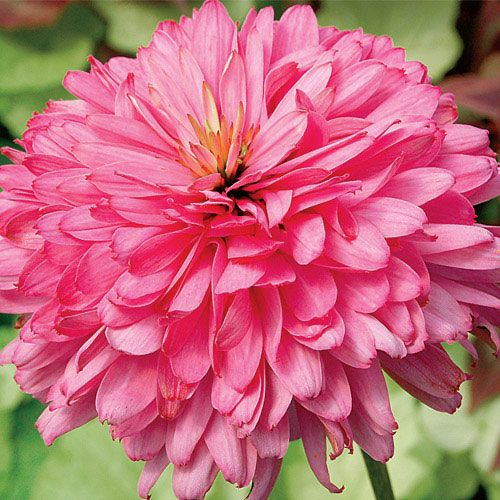 Pink Poodle Coneflower