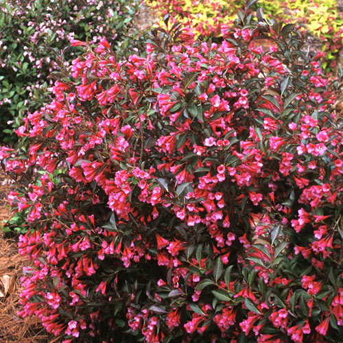 Wine and Roses Weigela