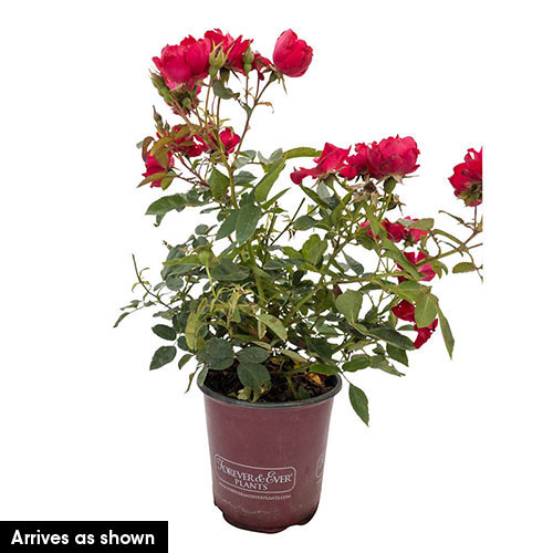 Kardinal Kolorscape® Rose