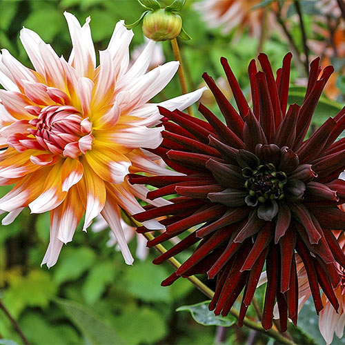 Dahlia High Contrast Duo