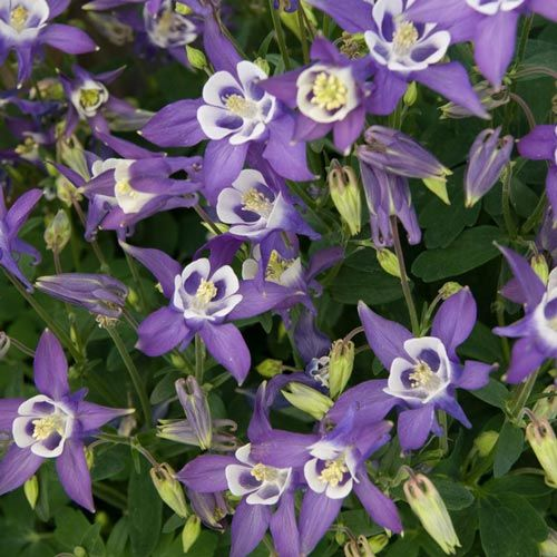 Winky Blue and White Columbine
