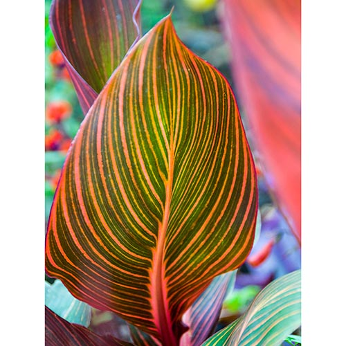 Phasion Variegated Canna