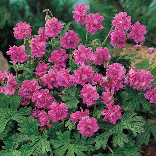 Birch's Double Everblooming Hardy Geranium