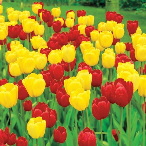 Red And Gold Tulip Duo