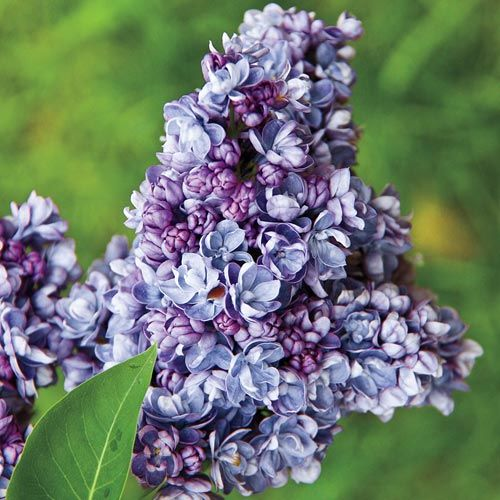 Wild River Double Lilac