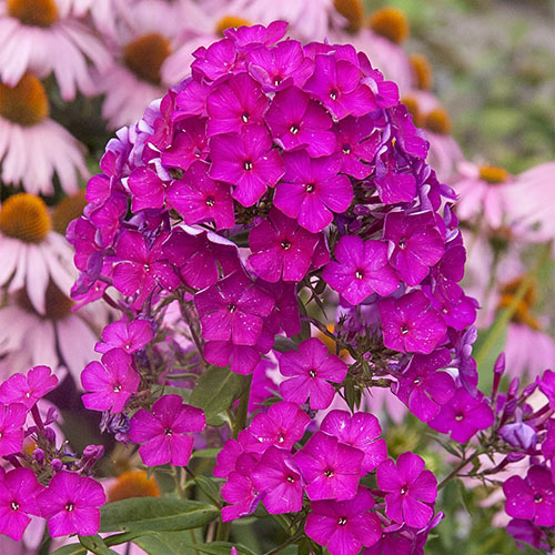 Nicky Giant Hardy Phlox