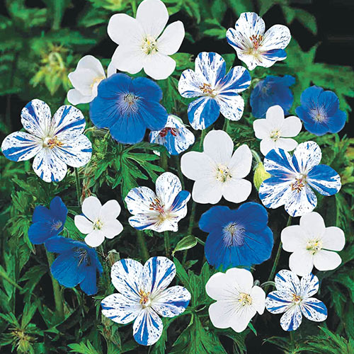 Blue & White Hardy Everblooming Geranium Mix
