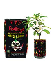 Challenge White Habanero Plant