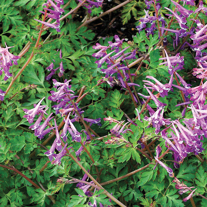 Blackberry Wine Corydalis