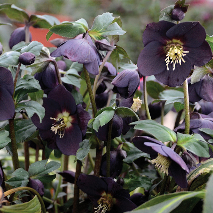 Honeymoon New York Night Hybrid Helleborus
