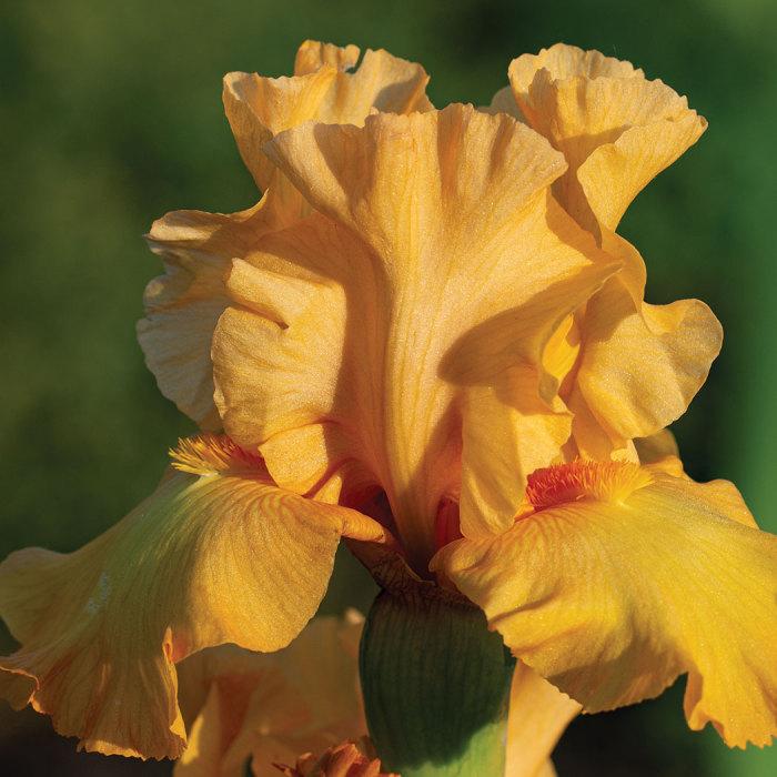 Mango Passion German Bearded Iris